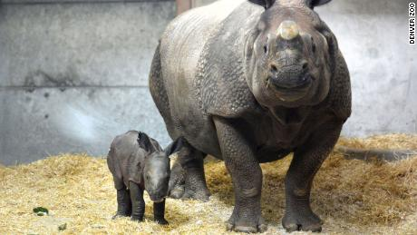 The Denver Zoo welcomes its first-ever baby rhino after a 'heroic effort' from zoo staff -- and mom