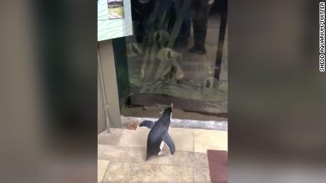 Adorable! Penguin takes 'field trip' around empty aquarium to visit neighbors