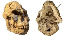 Pictures of the 'Little Foot' skull. The view from the bottom (right) shows the original position of the first cervical vertebra still embedded in the matrix.
