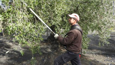 Olive farmers just managed to get their harvest finished before coronavirus struck Spain.