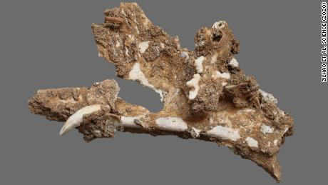 A wildcat's jawbone found in the cave reveals the diversity of life in the area at the time.