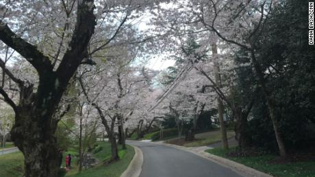 The cherry trees are blossoming near Bash's neighborhood, but people are being told to stay away from the Tidal Basin.