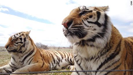tigers the wild animal sanctuary weld county 1