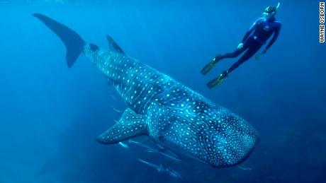 Nuclear bomb tests helped determine the ages of whale sharks for the first time