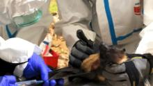 The Smithsonian Institution carries out bat sampling in Myanmar and Kenya, allowing them to discover 6 new coronaviruses.