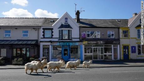 Mountain goats roam the streets of LLandudno, Wales, on March 31, 2020.