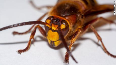 'Murder hornets' spotted in the United States for the first time