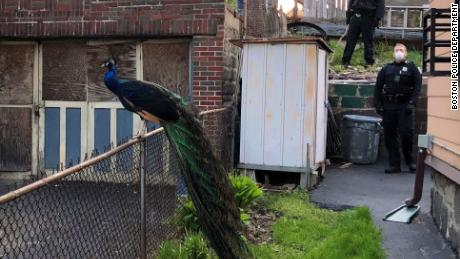Cop uses mating call on his phone to lure back zoo's escaped peacock