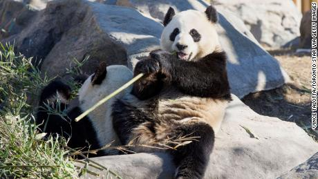 Canadian Zoo Plans to Return Pandas to China Due to Bamboo Shortage