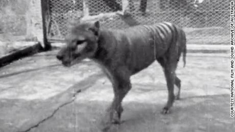 Never-before-seen footage from 1935 shows extinct Tasmanian tiger""