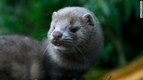 A mink may have infected a human with Covid-19, Dutch authorities believe
