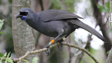 A Kokako -- a New Zealand native  bird -- in Tiritiri Matangi Island Wildlife Sanctuary.