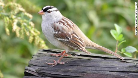 An adult white-crowned sparrow on a log.