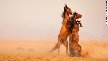 Namibia's last wild horses face a perilous future