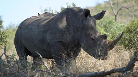 Why white rhino numbers increased 34,000%
