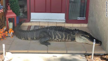 A family in Florida found a nearly 9-foot alligator with missing limbs on their doorstep
