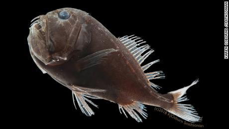 Scientists Discover How Ultra-Black Deep-Sea Fish Disappear