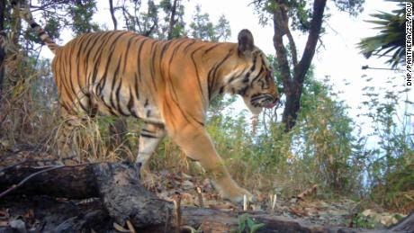 Endangered tigers spotted in Thailand after four-year absence
