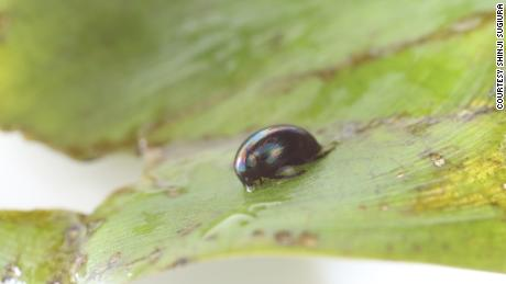 Eaten water beetles stay alive by escaping through the predator's anus