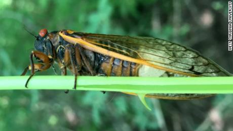 I survived a 'vicious' cicada attack