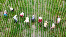 Los trabajadores agrícolas arrancan las malas hierbas de los campos de arroz en Taizhou, provincia de Jiangsu, China, el 8 de julio.