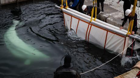 El equipo de Sea Life Trust transfiere a Little Grey de un remolcador a una piscina de cuidados.