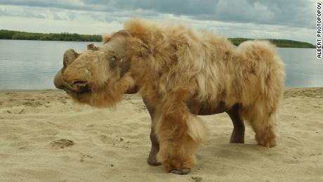 A 14,000-year-old puppy, whose perfectly preserved body was found in Russia, munched on a woolly rhino for its last meal
