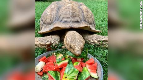 A 150-pound runaway tortoise is back home after 74 days on the lam