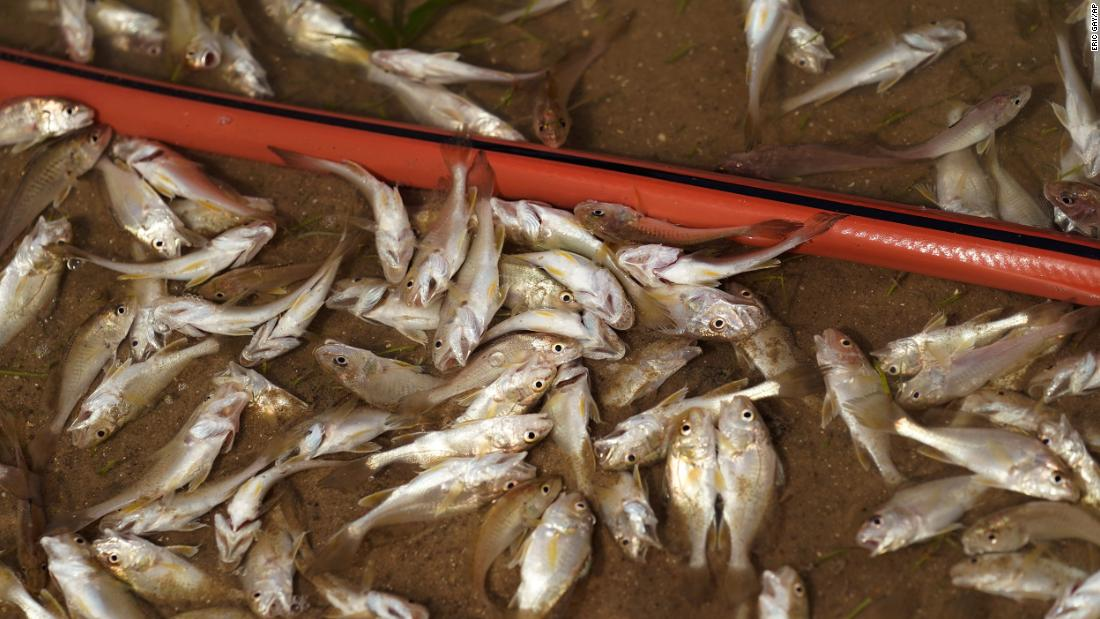 Dozens of small fish are trapped inland after the hurricane ripped through Holly Beach, Louisiana.