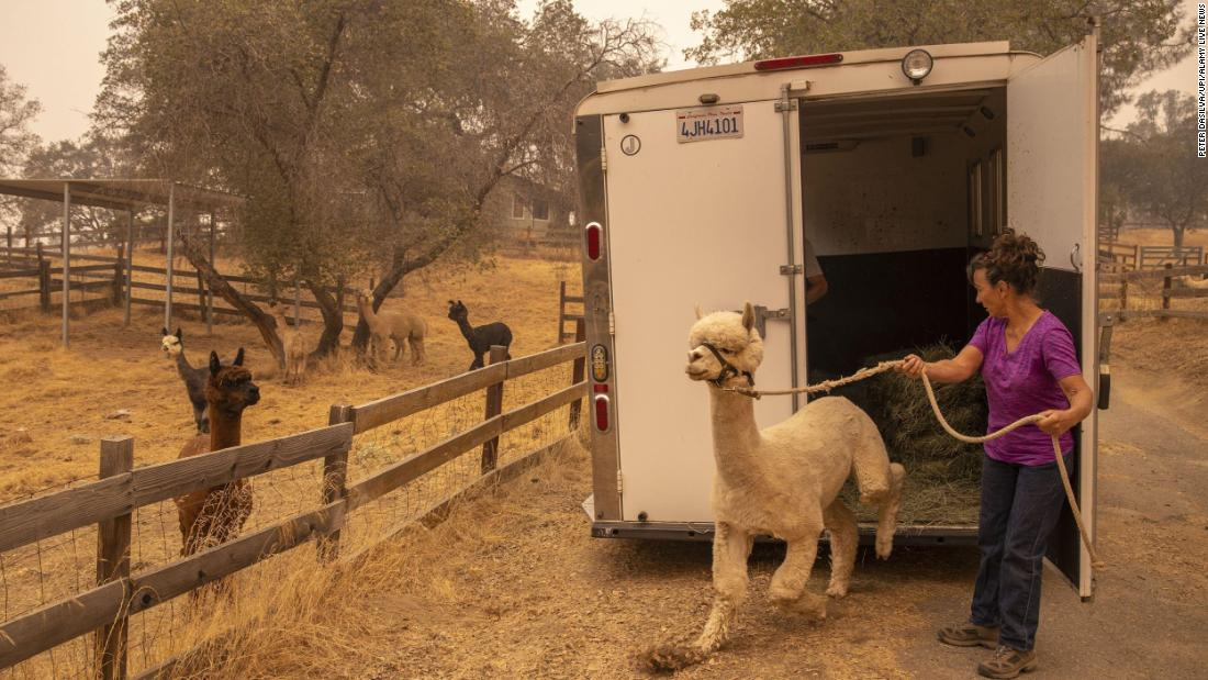 Lisa Theis unloads the last of her 44 alpacas after she evacuated her ranch in North Fork, 캘리포니아.