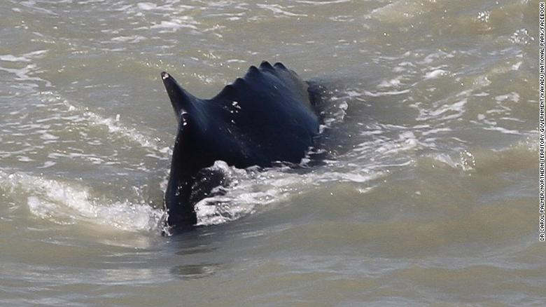 A humpback whale is stranded in a crocodile-infested river after taking a wrong turn