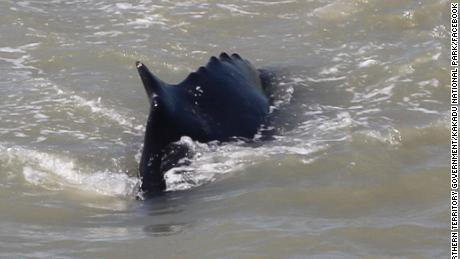 """Australia: Spotted humpback whales in the crocodile-infested East Alligator River"""""""