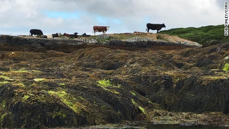 Cows -- like these ones in Connemara, Ierland -- often choose to nibble on seaweed when foraging near the sea.