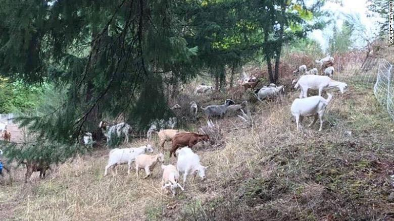 Oregon is trying a furry approach to firefighting: goats