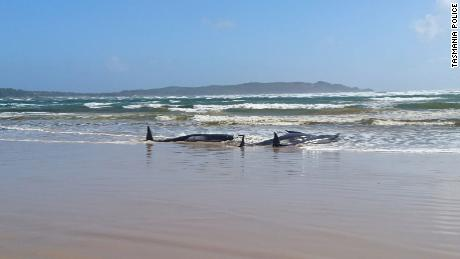 Hundreds of whales are stranded on a sandbank in Australia