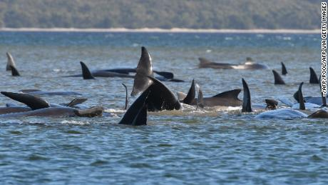The stranded pod of whales in Tasmania's Macquarie Harbour, photographed on September 21.