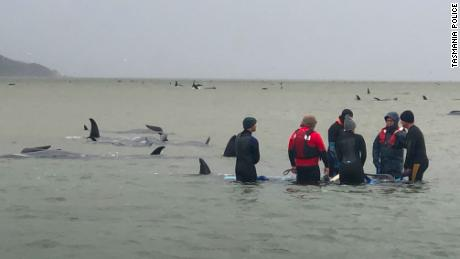 Roughly 270 pilot whales were stranded in the town of Strahan in Tasmania.