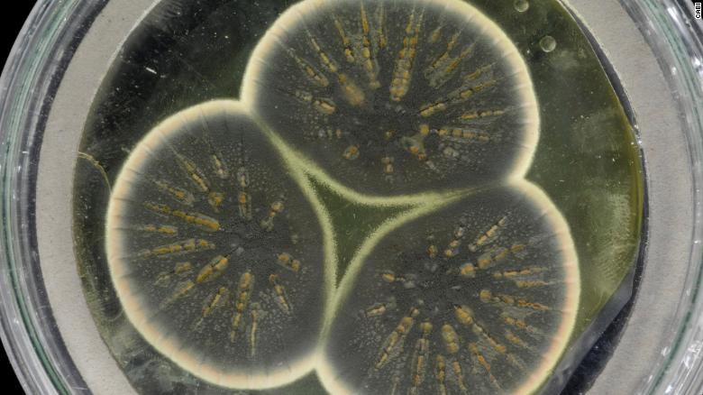 Scientists sequence the 92-year-old mold that produced the first antibiotic, penicillin