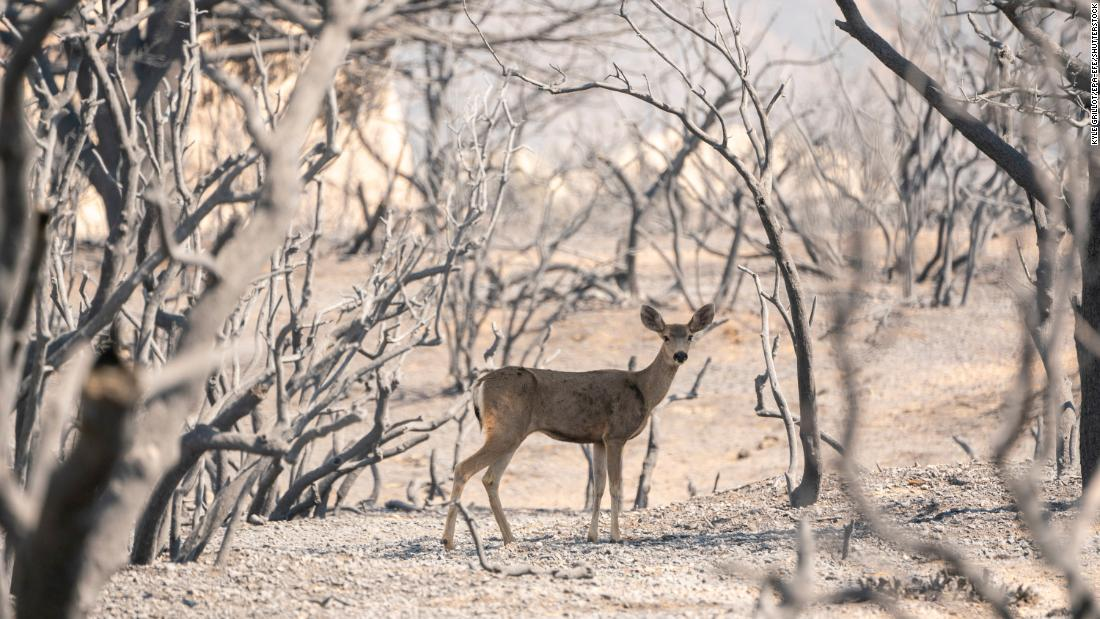 A deer looks for food in an area burned by the Bobcat Fire in Pearblossom, 캘리포니아.