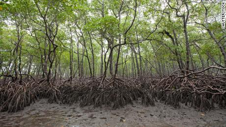Mangroves growing in the south of Brazil's Boipeba island have extensive root systems.