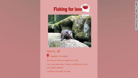 The Cornish Seal Sanctuary team created Harris a dating profile, sending it out in the hope of finding his new perfect match.