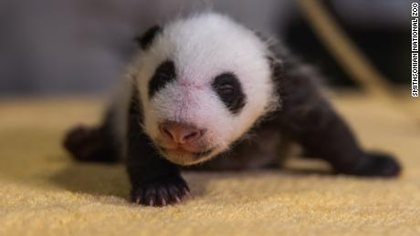 The National Zoo confirms its new baby panda is a boy