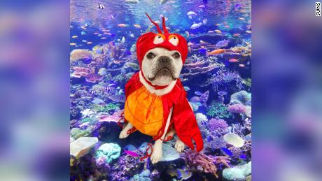 "Toad the French bulldog as Sebastian from ""The Little Mermaid.""  A French bulldog is wearing a different Halloween costume every day this month 