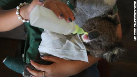 On top of injuries and deaths due to habitat loss and human encroachment, researchers say koalas are at risk because long-term stress is hurting their immune systems.