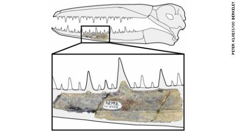 The 5-inch segment of fossilized jaw, which was discovered in Antarctica in the 1980s, dates from 40 million years ago.
