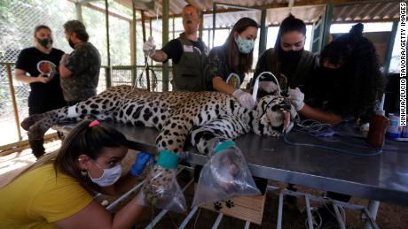 Staff members treat a wounded leopard at an animal protection center in Goias State, Brazil, on September 27, 2020.