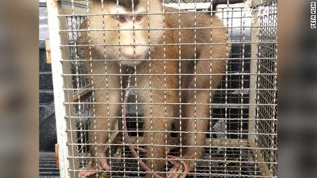 PETA investigators from its Asia division found cruelty to monkeys at farms and facilities used by Theppadungporn Co., makers of Chaokoh coconut milk sold at retail stores, including Costco.