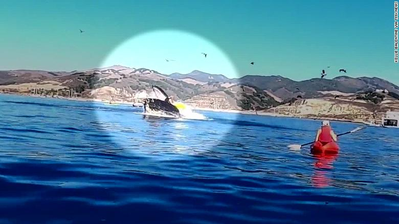 Humpback whale appears to almost swallow kayakers while breaching