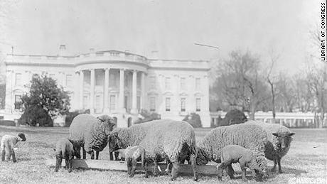 گوسفندان در چمن کاخ سفید در سال 1919.