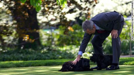 رئیس جمهور جورج دبلیو بوش با سگهای خانگی خود بارنی و خانم بیزلی در چمن جنوبی کاخ سفید در سال 2005 بازی می کند.